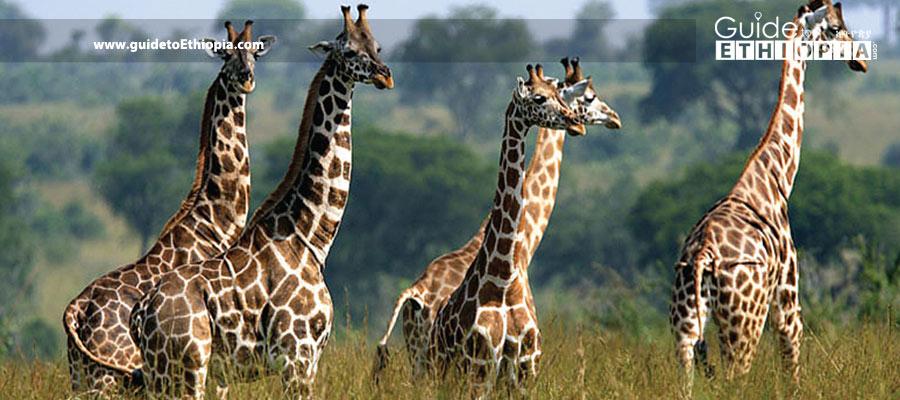 gambella-National-park