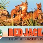 Red-jackal